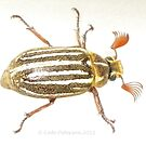 Alien or Insect? Close Up on a May Beetle by Cate Peterson