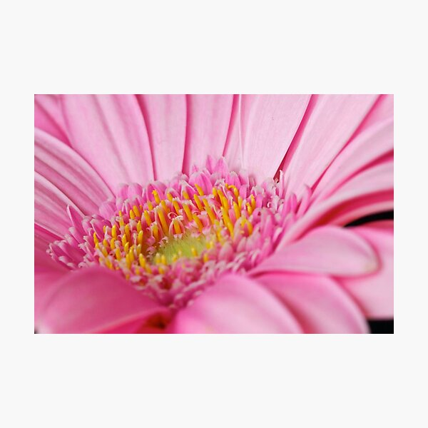 Light Pink Gerbera  Photographic Print