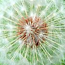 Dandelion Seed Head by Lynn Bolt