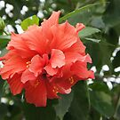 Hibiscus by orko