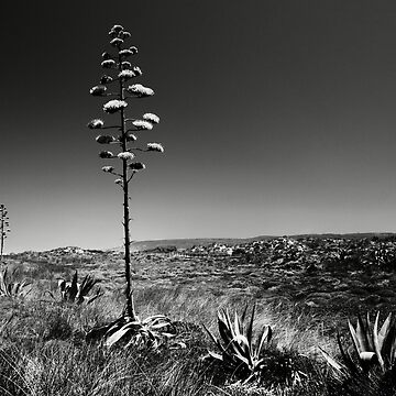 Agave Flowers by tykeloiner