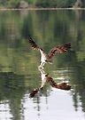 Sea Hawk by Dave Davis