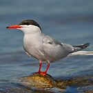 My tern to pose by Daniel  Parent