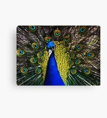 Peacock Showing Plumage - Full Colour digital image from Jenny Meehan   Canvas Print