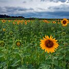 Sunflower Field by Michael Mill
