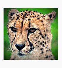 Mean Cheetah Photographic Print