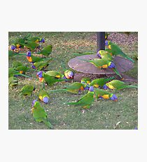'LOOKING FOR LEFT OVERS!' colourful Rainbow Lorikeets, Goondiwindi.Q. Photographic Print