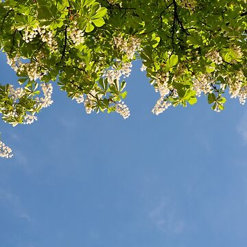 View at bright flowers of Aesculus by ArlettaCwalina