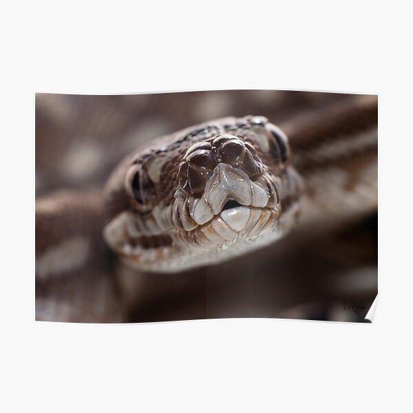 Bredli python Poster