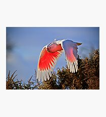 Flying Cocky Photographic Print