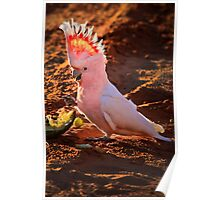 Quot Major Mitchell Cockatoo Quot By Stephen Ruane Redbubble