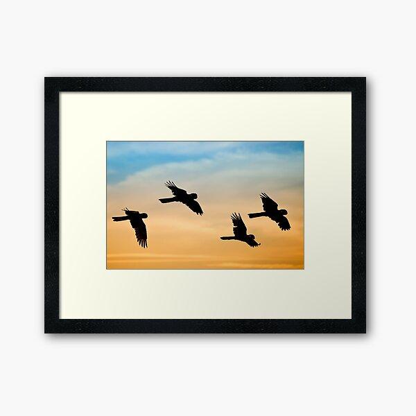 Black Cockatoo sunrise Framed Art Print