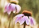 Echinacea Glow by Elaine Manley