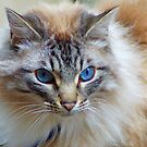 Blue eyed cat, France. by PhillipJones