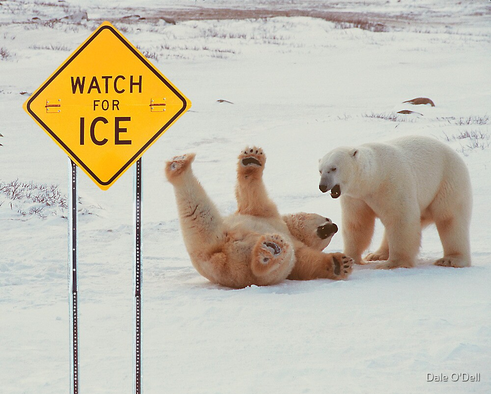 Quot Polar Bears Slip On Ice Quot By Dale O Dell Redbubble