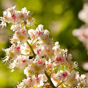 Aesculus flowers on green by ArlettaCwalina