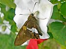Silver-spotted Skipper - Epargyreus clarus by MotherNature