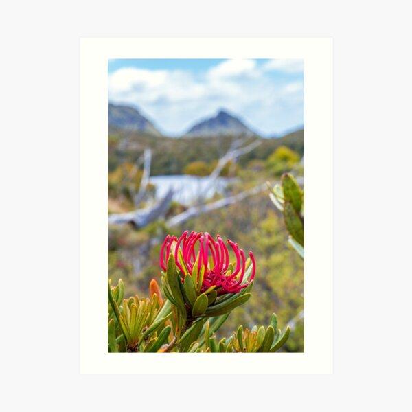 Tasmanian Telopea II Art Print