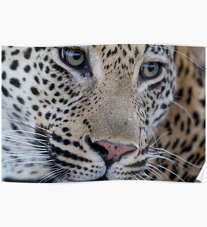 Leopard - Mxabene Male Poster
