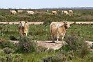 Cattle on The Long Paddock NSW by Darren Stones