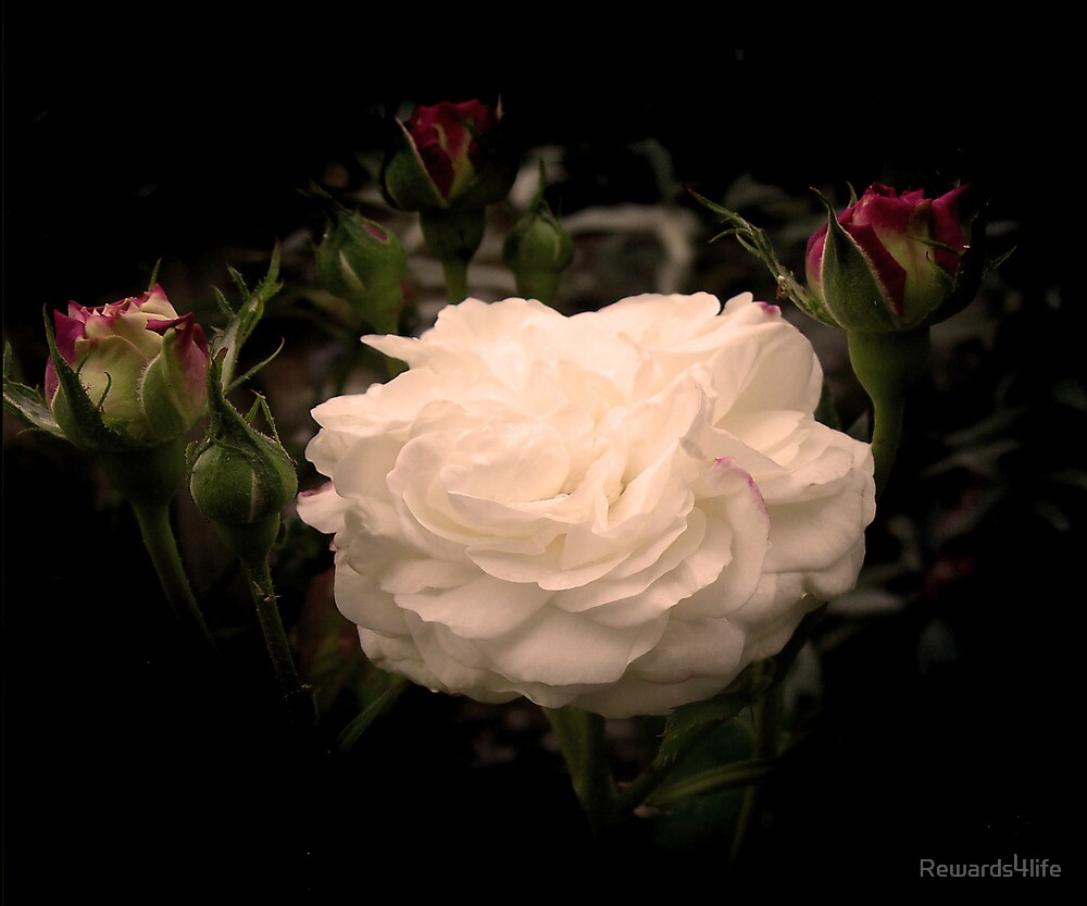 White Cloud Roses by Rewards4life