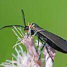 Yellow-collared Scape Moth or Virginia Ctenucha ? by DigitallyStill