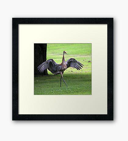 Sandhill Crane Cape Dancer Framed Print