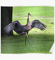 Sandhill Crane Cape Dancer Poster