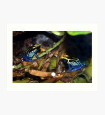 Dyeing Poison Arrow Frogs Art Print