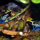 Dyeing Poison Arrow Frogs by redscorpion