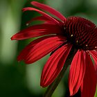 Red petals by Jean-Luc Rollier