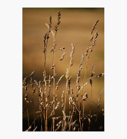 Golden Grasses Photographic Print