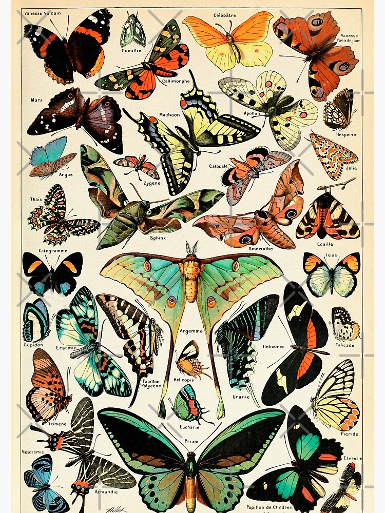 Papillon I Vintage French Butterfly Charts by Adolphe Millot by wildtribe