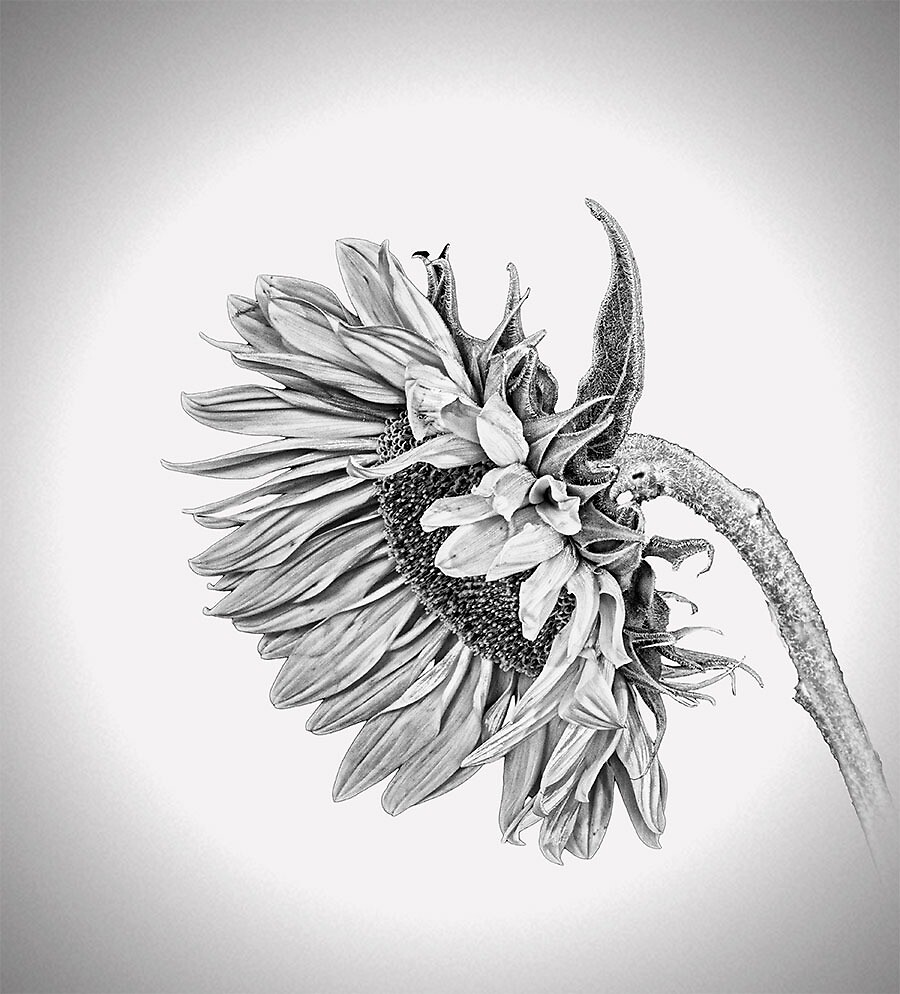 Sunflower in Black and White by Snopaw