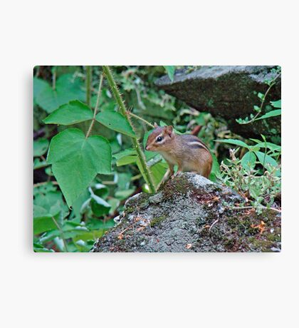 Eastern Chipmunk - Tamias striatus Canvas Print