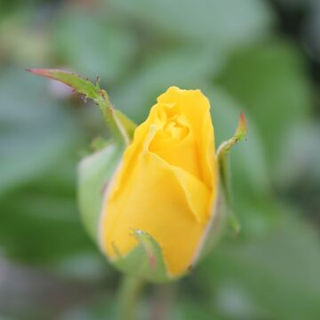 Wonderful yellow rose bud by AriaTees