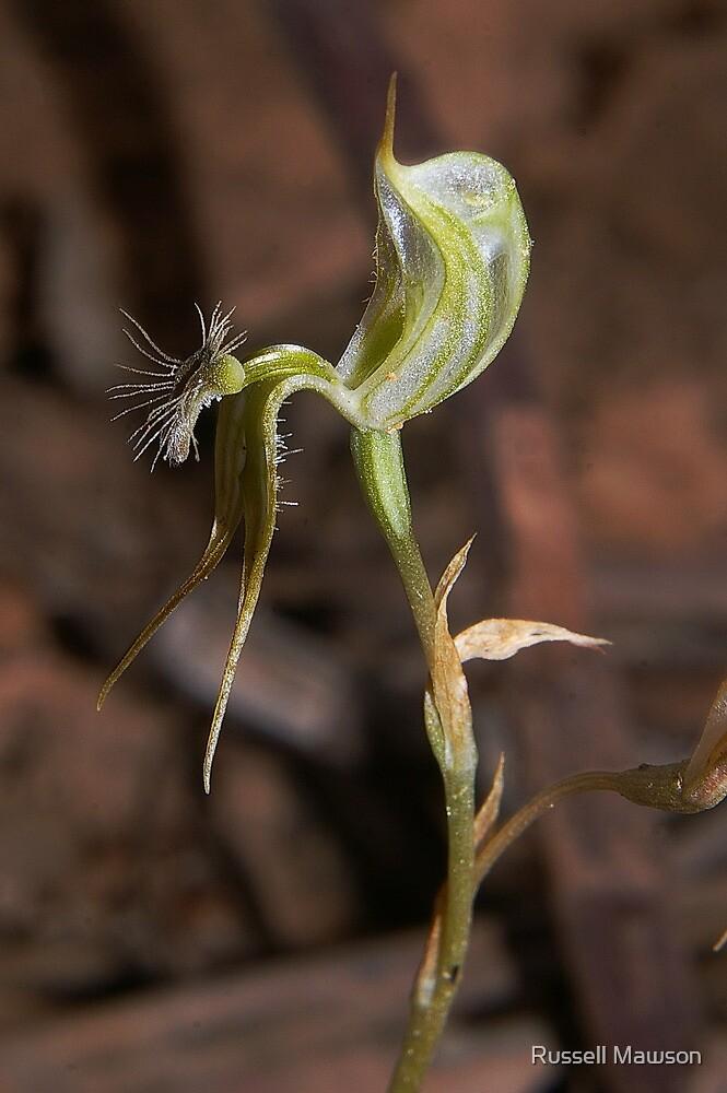 Pterostylis setifera (Bristly Greenhood)  by Russell Mawson