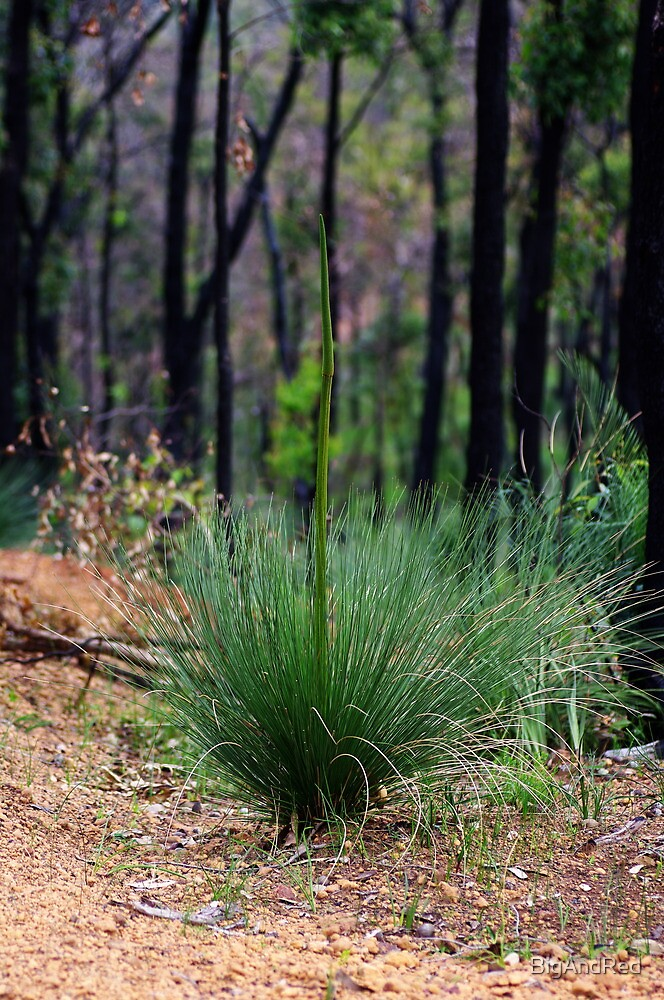 Young Xanthorrhoea by BigAndRed