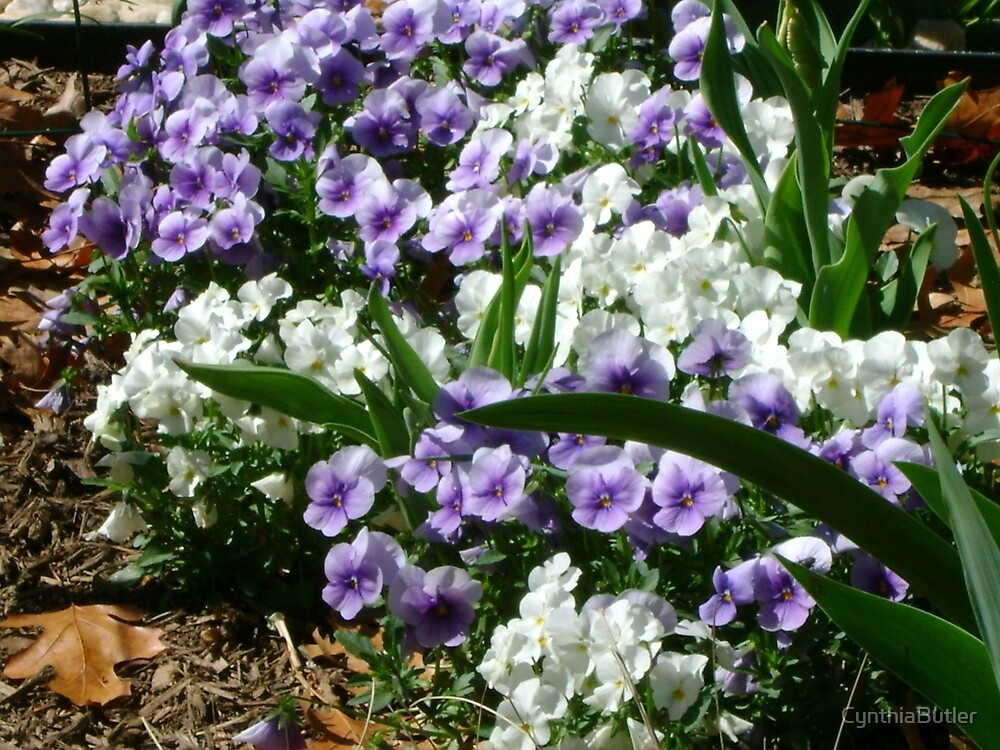 Purple and White by CynthiaButler
