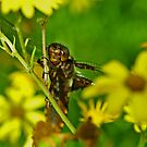 Female Broad-bodied chaser by Russell Couch