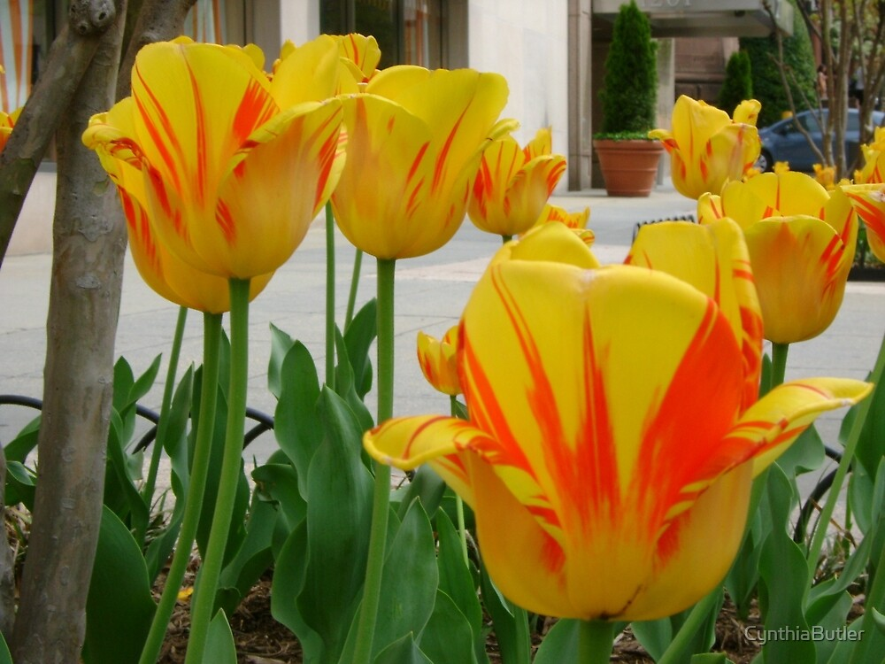 Tiger Tulips by CynthiaButler