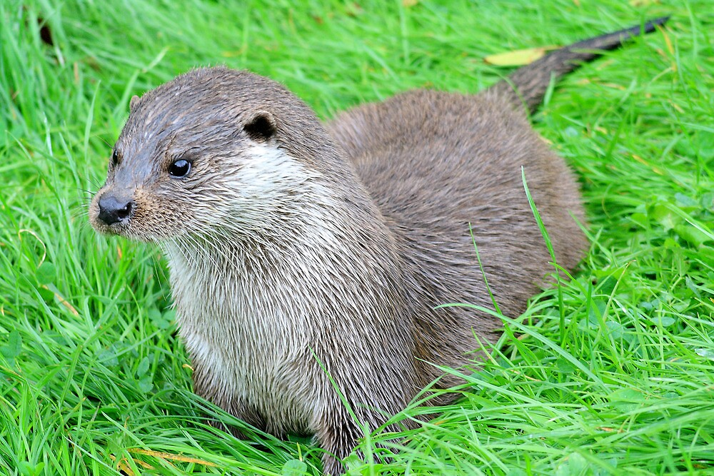 European Otter by Dave Godden