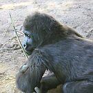 Gorilla, San Diego Zoo by ACBPhotos