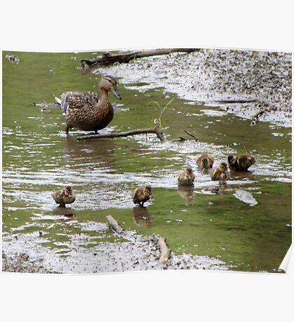 Baby Duck Herding Poster