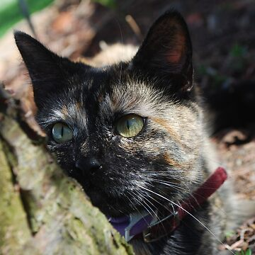 Torti Cat by TheDragonLady23