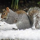 Squirrel in the snow by dury