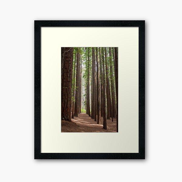 Redwood Forest, Warburton, Victoria Framed Art Print