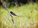 Little Willy Wagtail by yolanda
