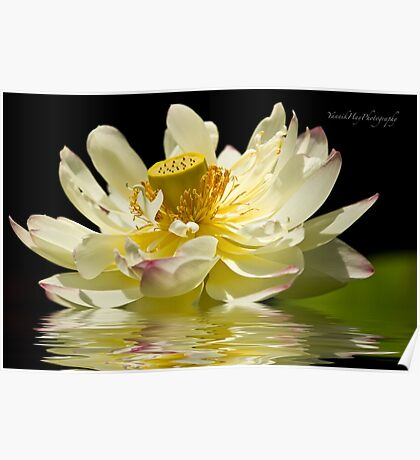 Lotus in Full Bloom Poster