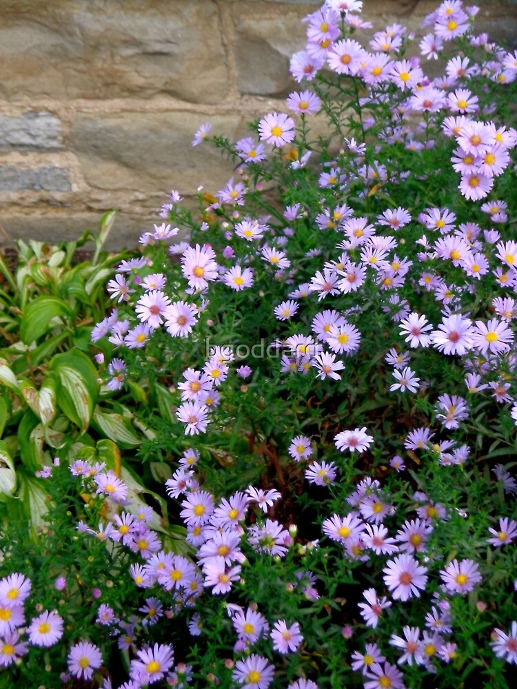 Asters by bgoddard